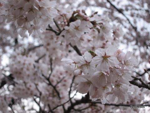 代々木公園の桜(2011)